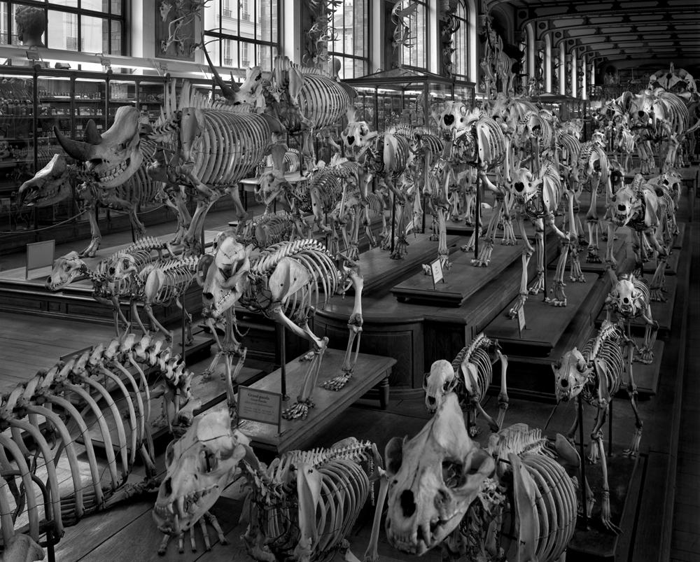 """Matthew Pillsbury<br /> <em>Hordes, La Galerie d'Anatomie Comparee, Musee d'Histoire Naturelle, </em>2008<br /> Archival pigment ink prints<br /> 13 x 19"""" Edition of 20<br /> 30 x 40"""" Edition of 10<br /> 50 x 60"""" Edition of 3"""
